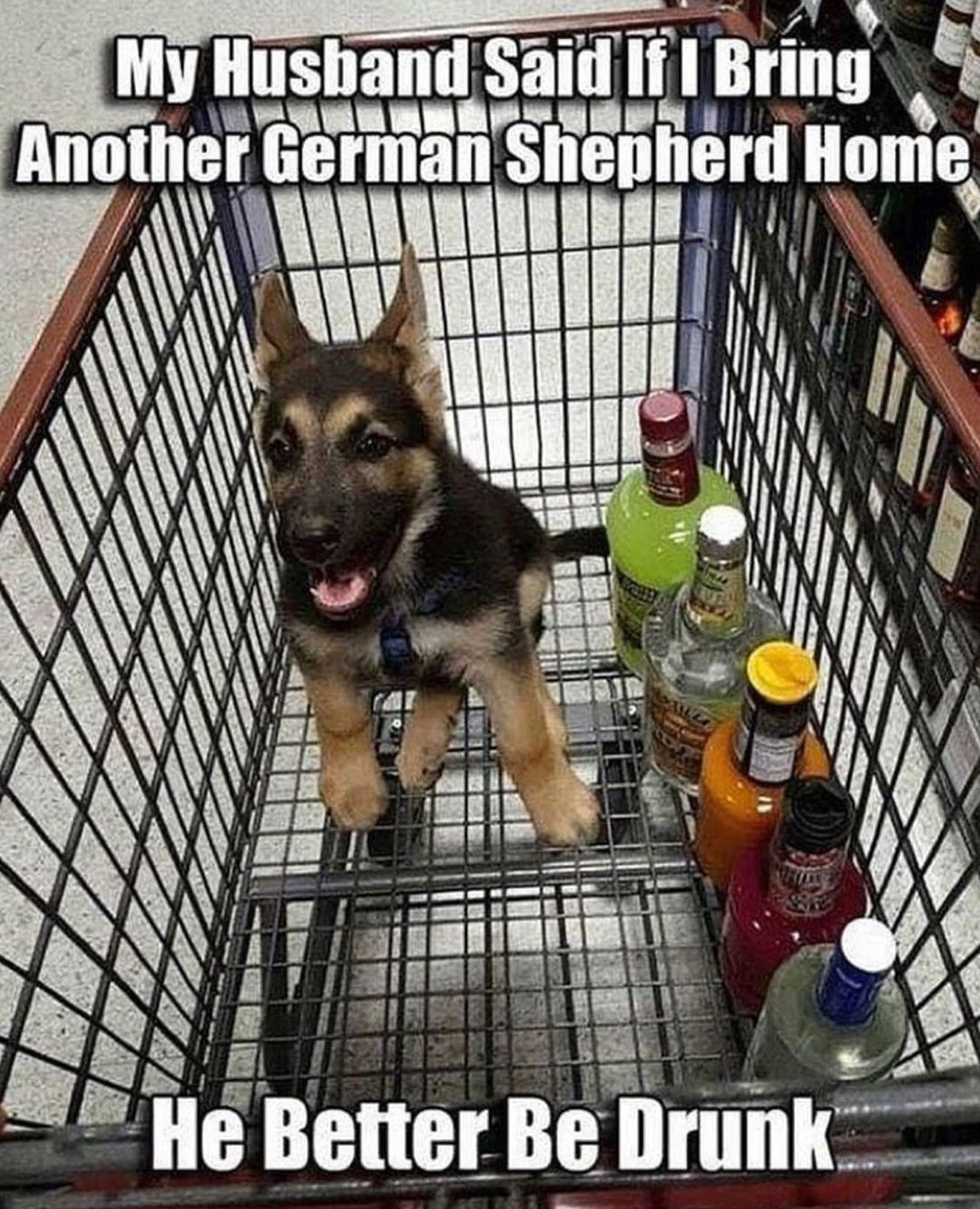 My husband said, if I bring another German Shepard home, he better be drunk