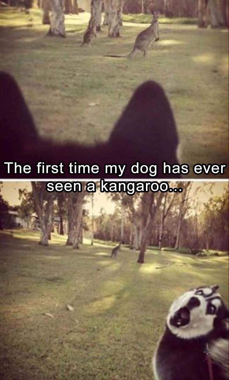 The first time my dog has ever seen a kangaroo…