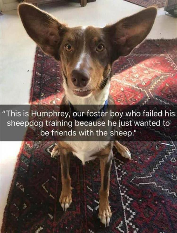 """This is Humphrey, our foster boy who failed his sheepdog training because he just wanted to be friends with the sheep."""