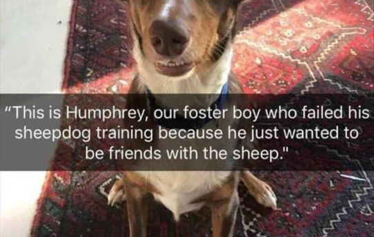 """""""This is Humphrey, our foster boy who failed his sheepdog training because he just wanted to be friends with the sheep."""""""