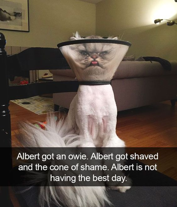 Albert got an owie. Albert got shaved and the cone of shame. Albert is not having the best day.