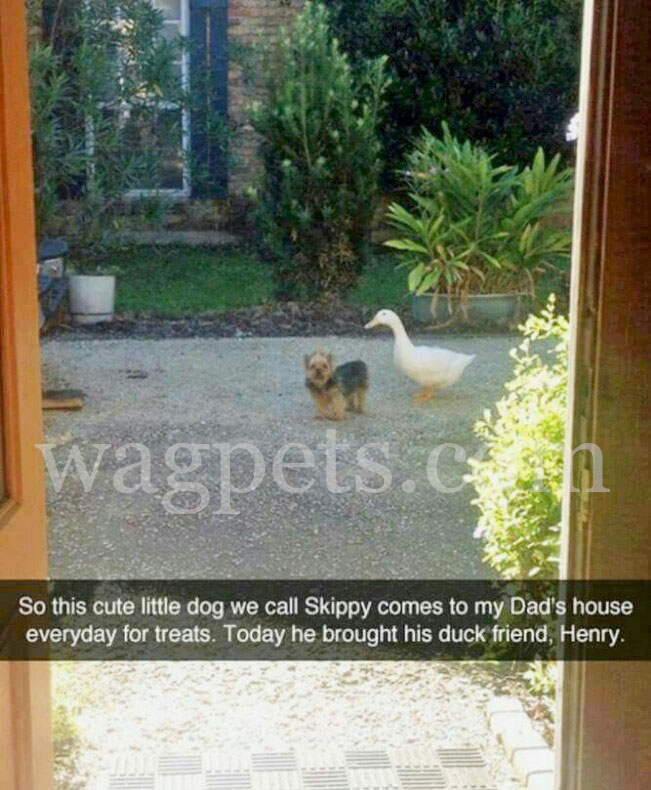 So, this cute little dog we call Skippy comes to my Dad's house everyday for treats. Today he brought his duck friend, Henry.