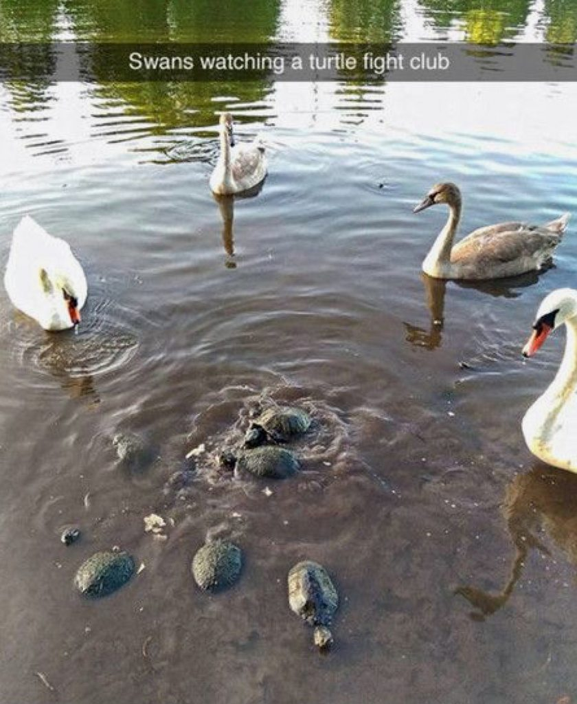 Swans watching a turtle fight club