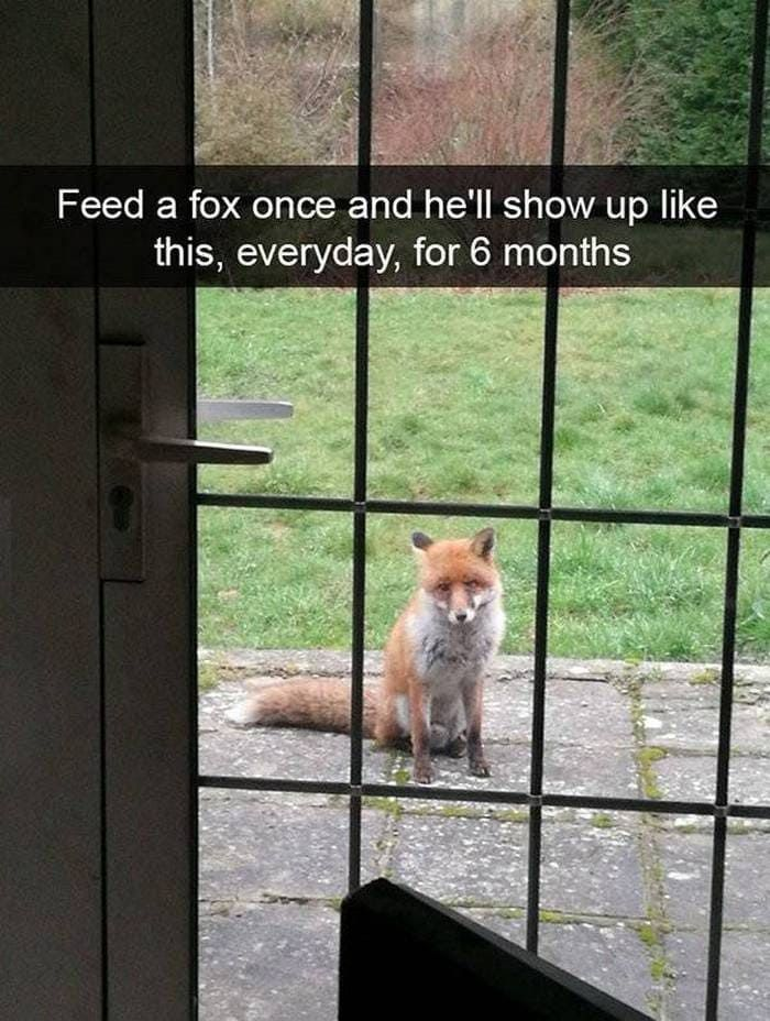 Feed a fox once and he'll show up like this, every day, for 6 months