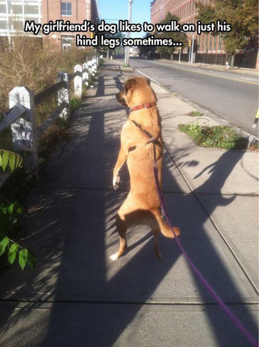 My girlfriend's dog likes to walk on just his hind legs sometimes…