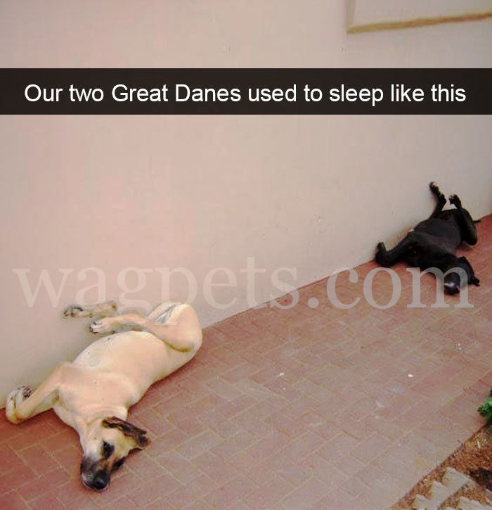Our two Great Danes used to sleep like this