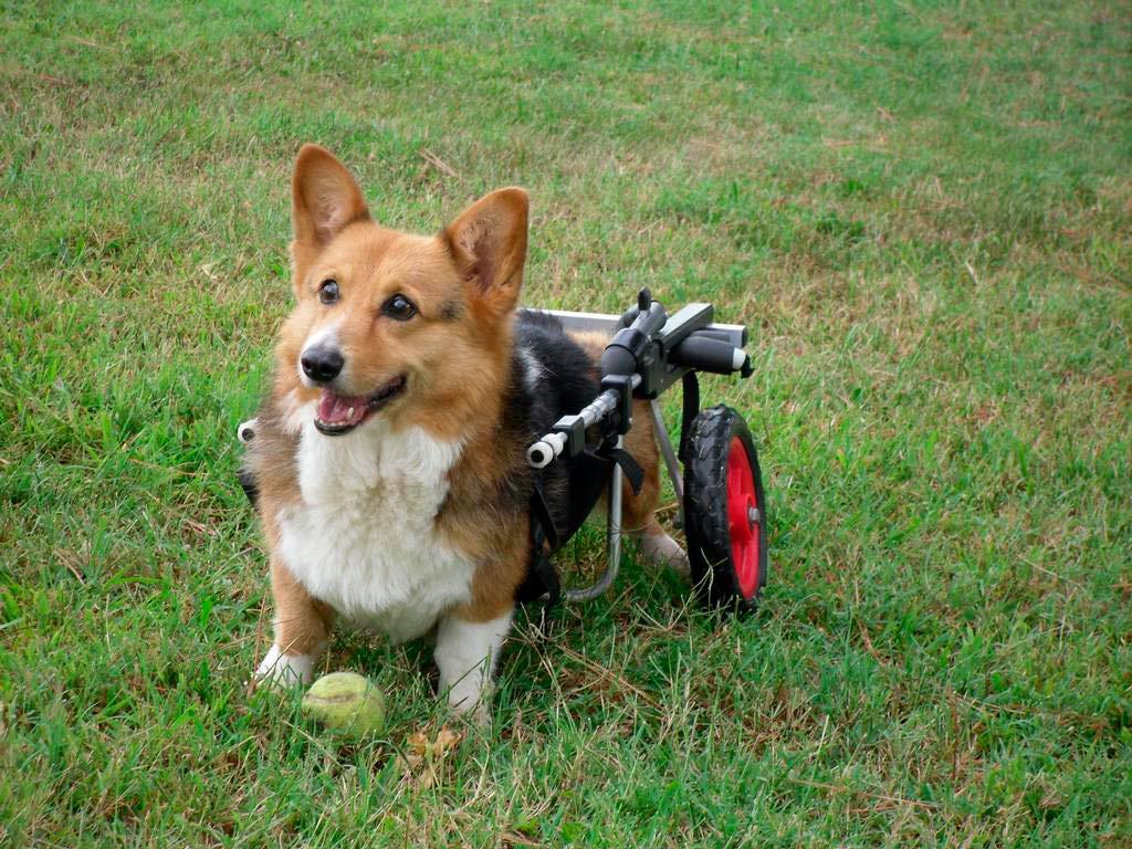 Pembroke Welsh Corgi On Wheelchair