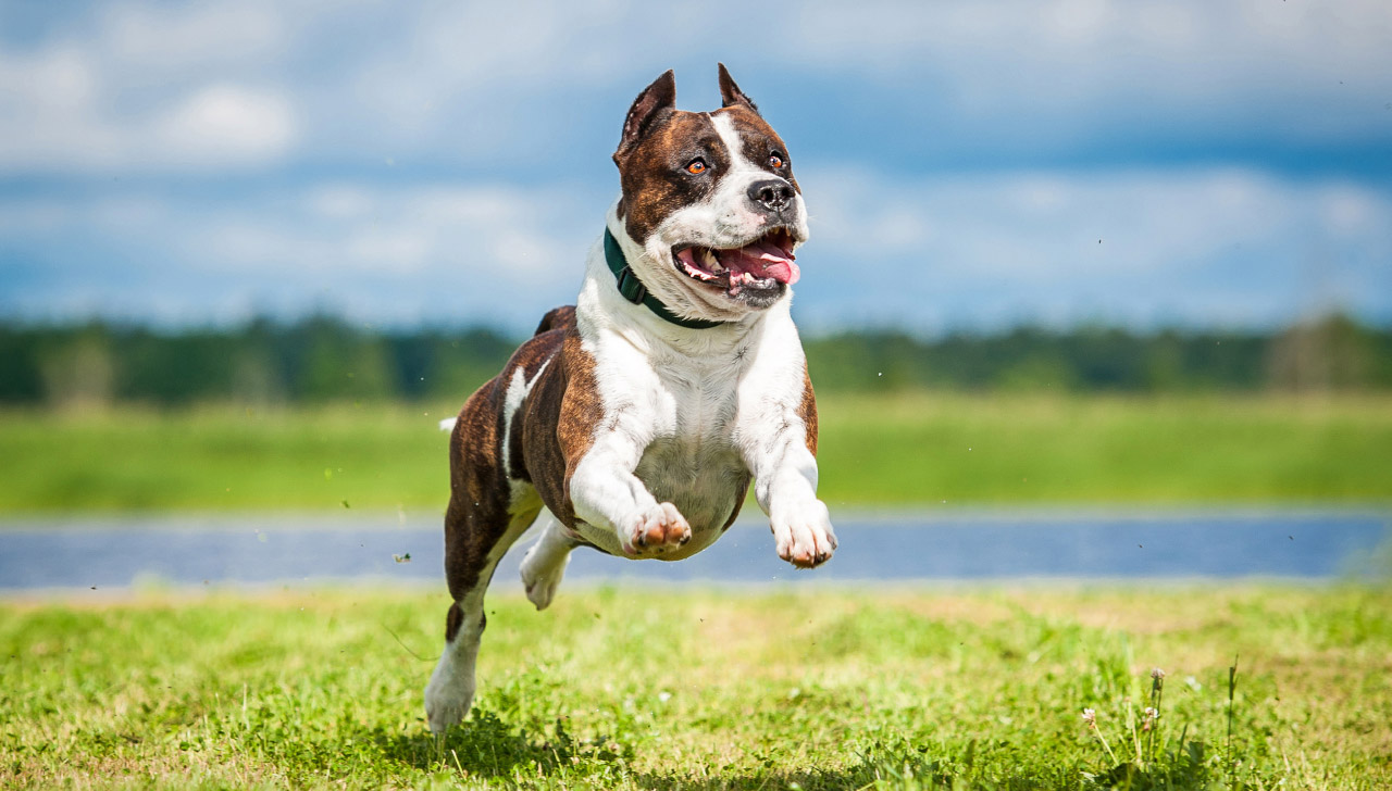 American Staffordshire Terrier Playfulness