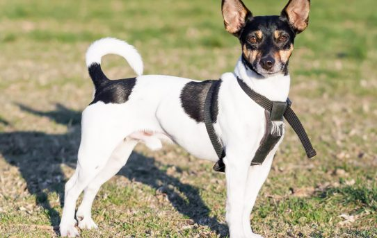 Rat Terrier – little dogs on a big mission