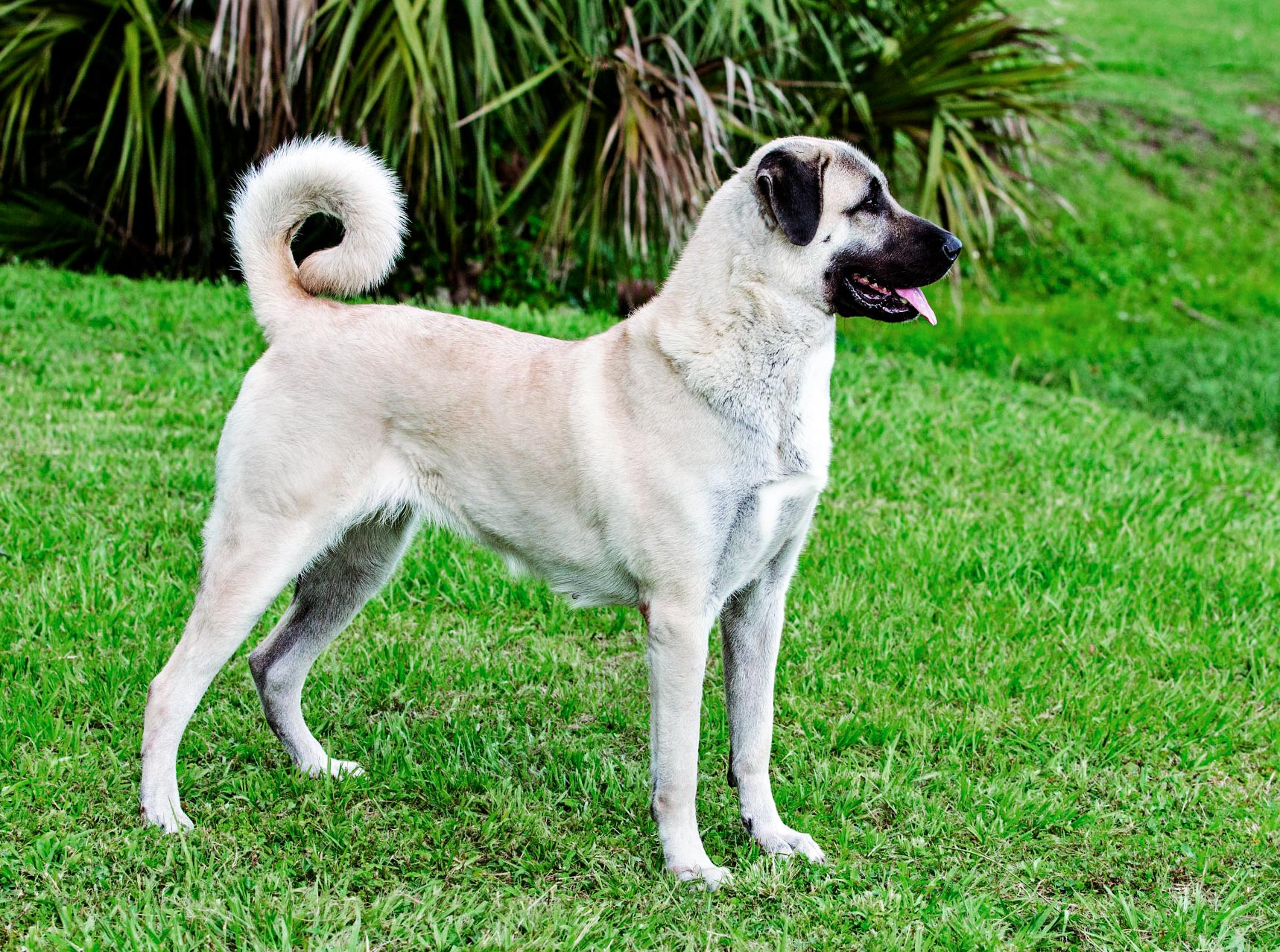 Anatolian Shepherd Dog – Loyal, Strong, Reserved