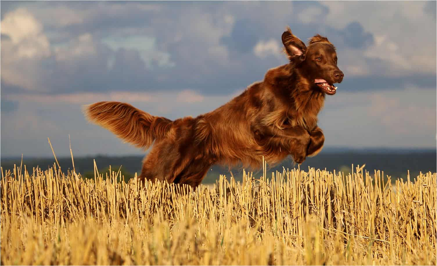 Flat-Coated Retriever Exercise