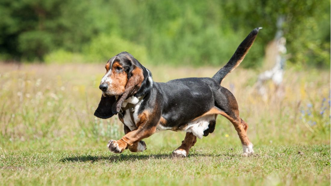 Basset Hound General Appearance