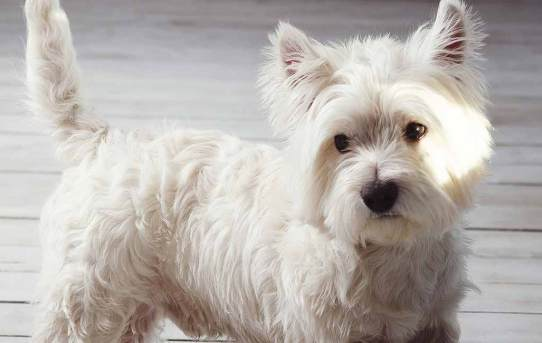 West Highland White Terrier – Energetic, friendly, courageous