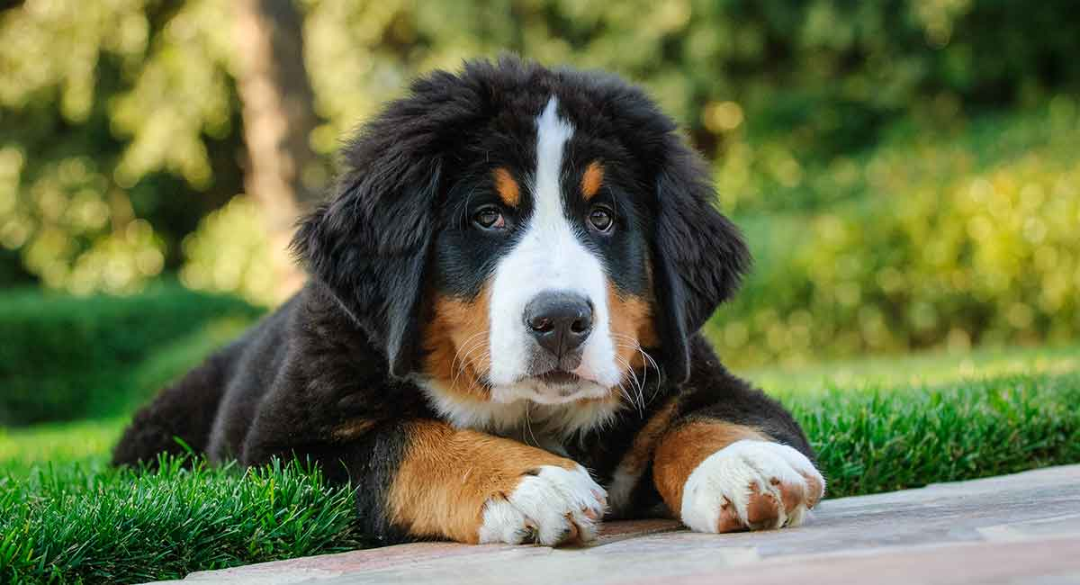 Bernese Mountain Dog Easy-To-Train Apartment Dog