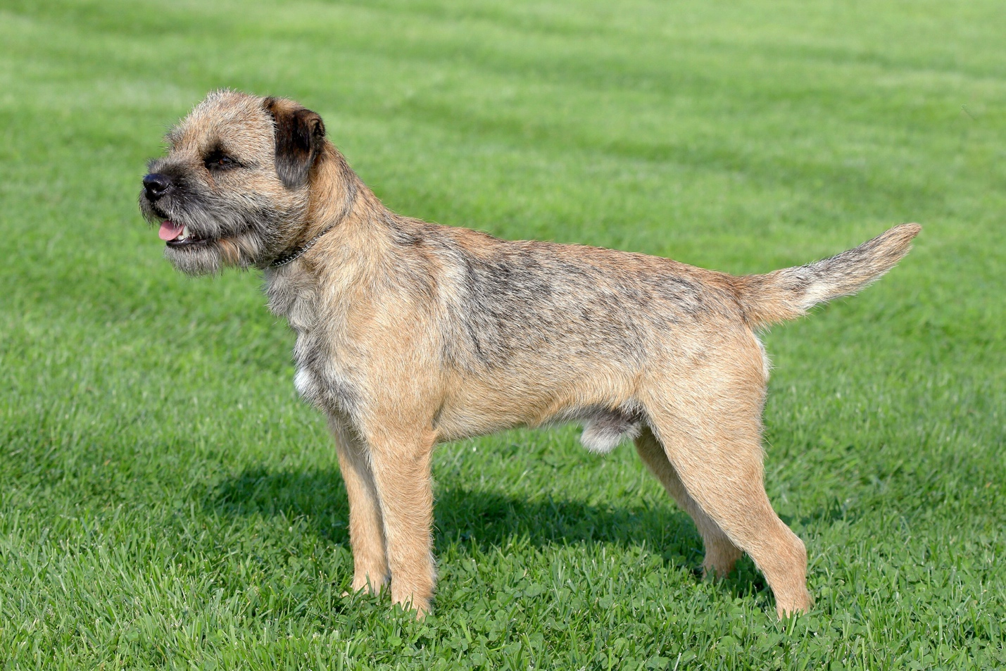 Border Terrier Easy-To-Train Apartment Dog