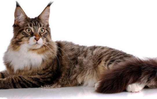 Maine Coon – A rugged, adaptable cat built for the outdoors