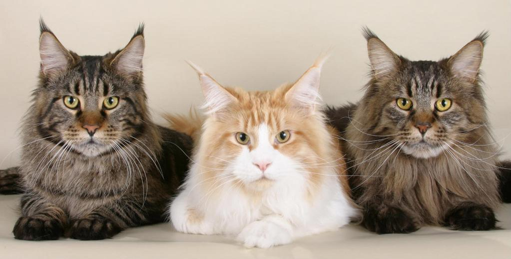 Maine Coon Coat and Colors