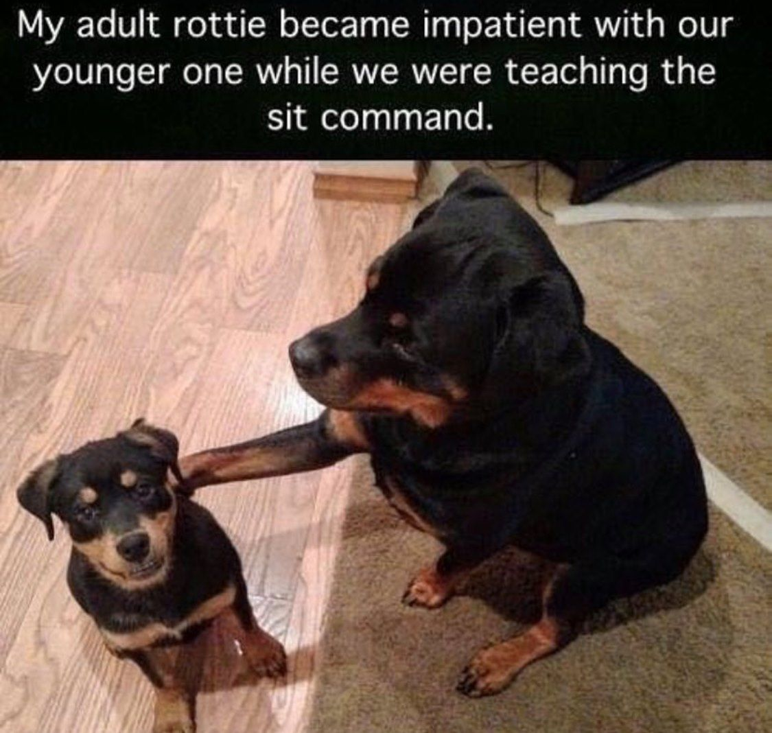 My adult rottie became impatient with our younger one while we were teaching the sit command.