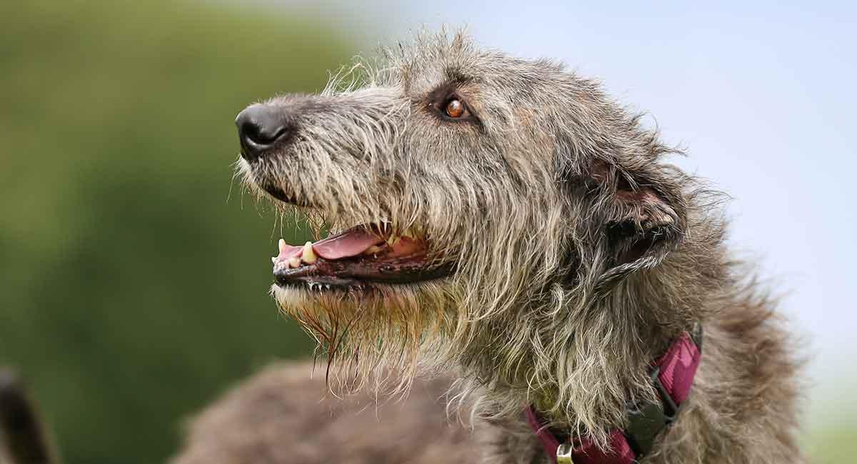 Irish Wolfhound Ears