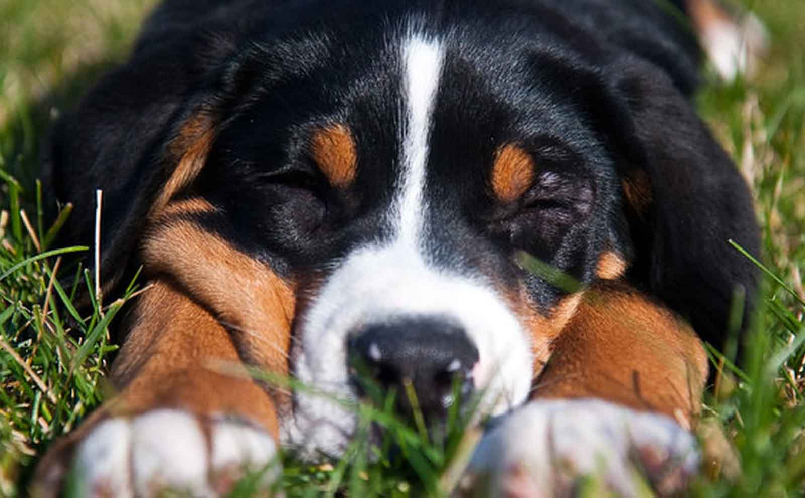 Greater Swiss Mountain Dog Personality