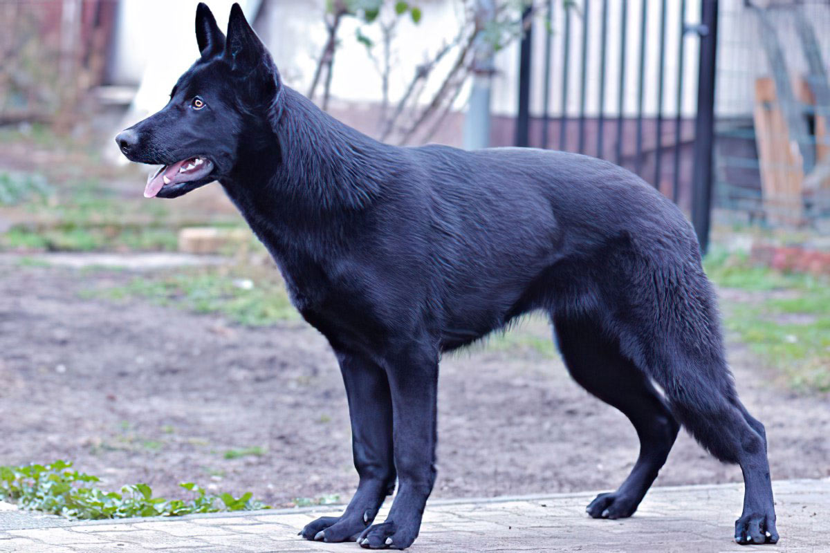 Lycan Shepherd – A new, hardworking, and multipurpose breed
