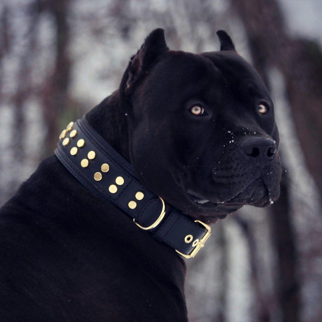 Black Pitbull Health Needs
