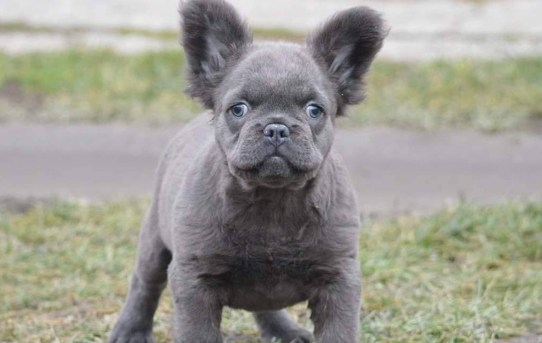 The Fluffy Frenchie: a Rare Variation of the French Bulldog