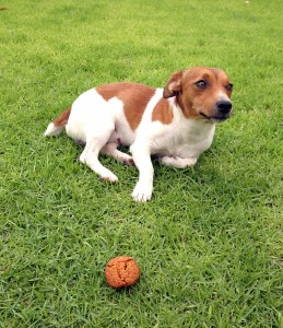 dog nutrition and jack russell
