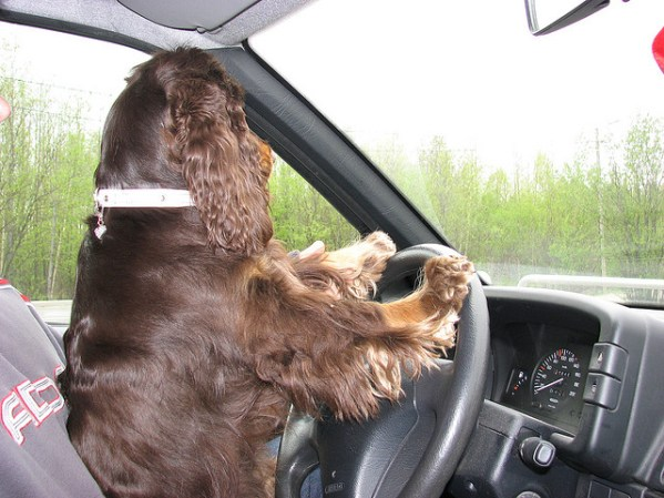 pets dogs in car