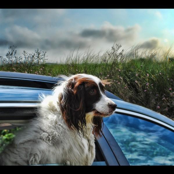 dog travel in car
