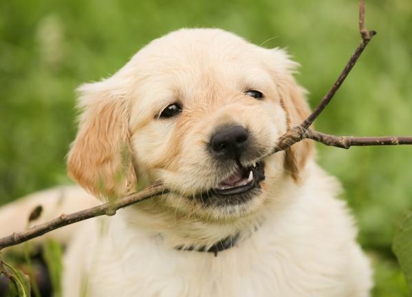 dog teeth chew