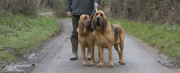 Manliest Dog bloodhound