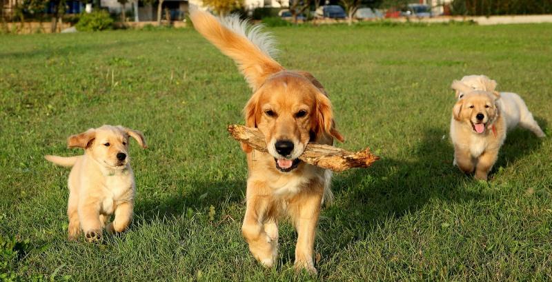 dog breeds golden