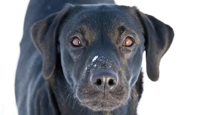 dog breeds Labradors