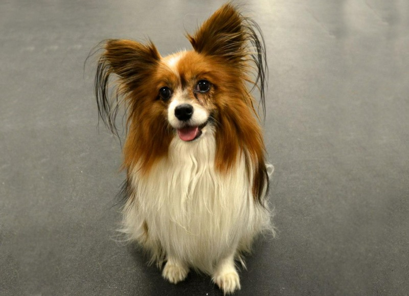 dog breeds pap