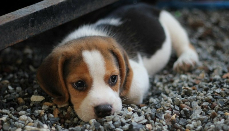 feeding your puppy beagle