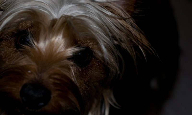 Silky Terrier small dog