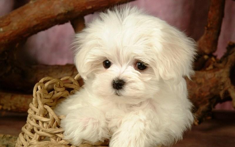 maltes small dog