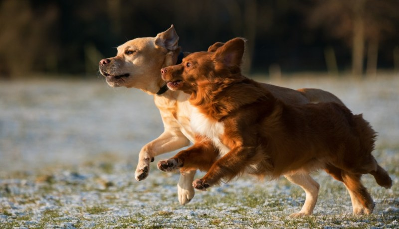 healthy running dogs