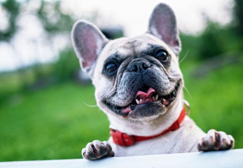 happy dog french bulldog
