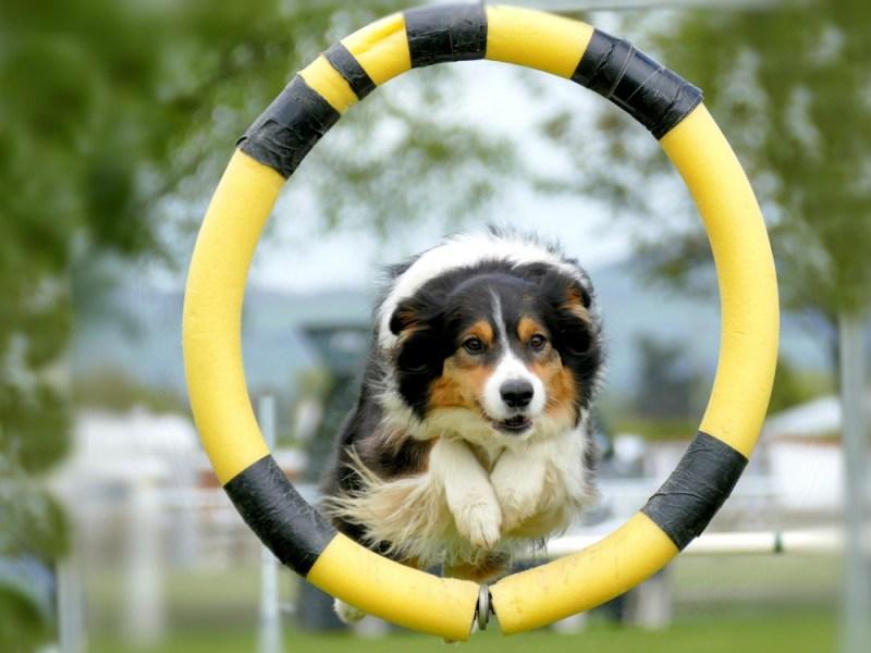 dog trick training hoop