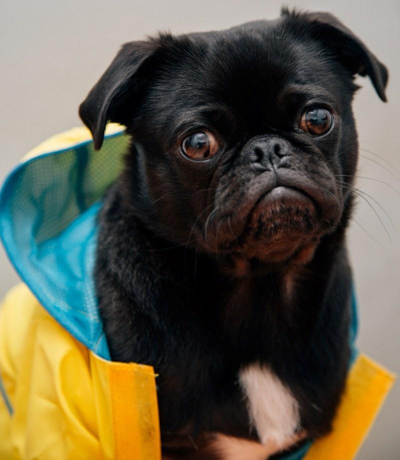 spring dog coat