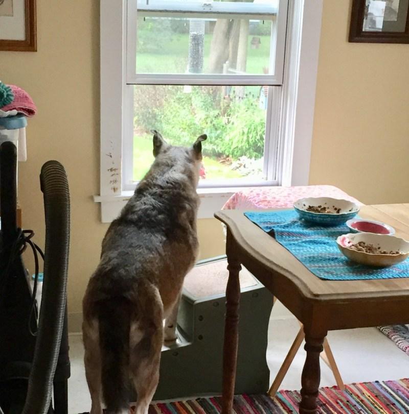 Senior Dog Antics kitchen window