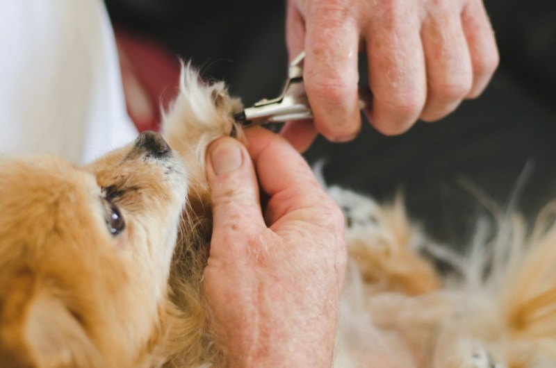 pomeranian nails and grooming