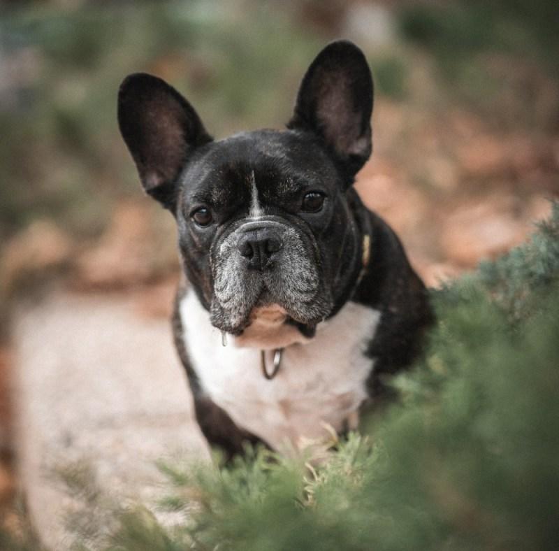 fleas on the garden bulldog