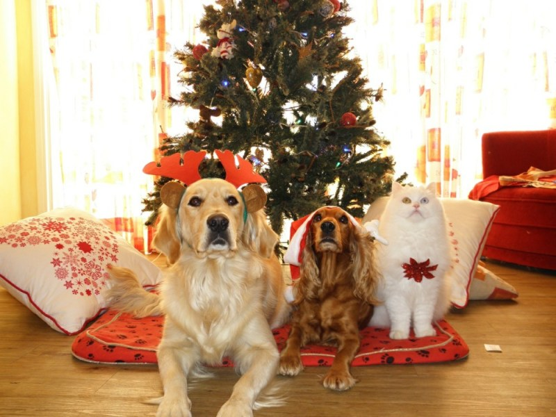 dogs at Christmas and cat