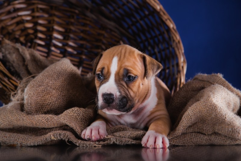 Puppy American Puppy American Staffordshire Terrier