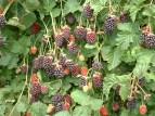 Boysenberry Bush2