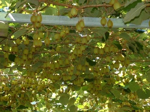 Kiwifruit Pergola2