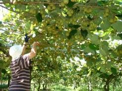 Kiwifruit Thinning
